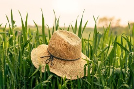 Sterman Hat Grass