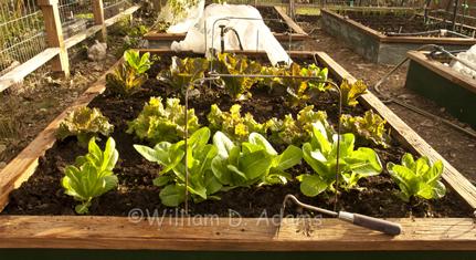 Adams Lettuce transplants_weeded.jpg