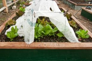 Adams transplants with row cover.jpg