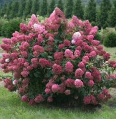 PW Hydrangea paniculata Fire Light_IMG_3528.JPG