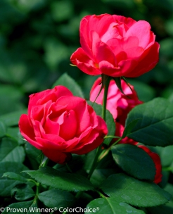 pw-oso-easy-double-red-rose