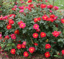 pw-oso_easy_urban_legend_rose_plant