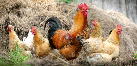 Chickens In Straw.jpg