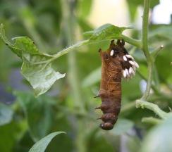 parasitized tomato hornworm 10-5-05 crop