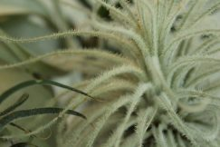 Trichomes on Tillandsia tectorum